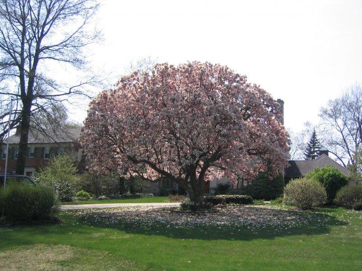 Magnolia Treewhispers